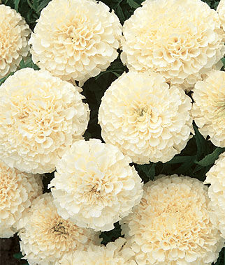 Marigold, French Vanilla Hybrid, , large