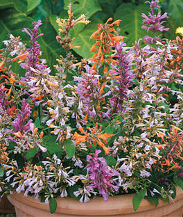 Agastache aurantiaca, Fragrant Delight Mix, , large