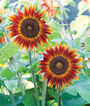 Sunflower, Little Becka Hybrid, , large
