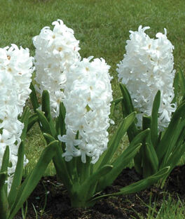 Hyacinth, Carnegie, , large