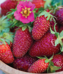 Strawberry, Tristan F1, , large