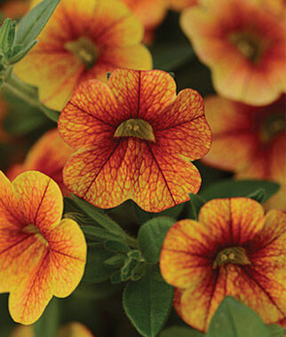 Calibrachoa, Kabloom Crave Sunset 3 Plants, Annuals, Annual Flowers, Annual Flower Plants, Flower Plants, Flowering Annuals, Bedding Plants