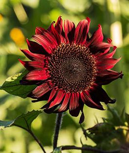 Sunflower, Red Wave Hybrid, , large
