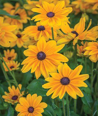 Rudbeckia, Indian Summer, , large