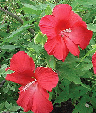 Hibiscus, Lord Baltimore, , large