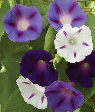 Morning Glory, Celestial Mix, , large