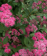 Spiraea japonica, Double Play Pink, , large