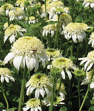 Echinacea, White Double Delight, , large