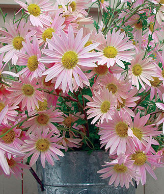 Sheffield Pink Chrysanthemum Seeds And Plants Perennnial