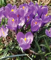 Crocus vernus, Grand Maitre, , large