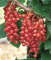 Currant, Red Lake, , large