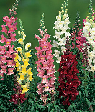 Snapdragon, Topper Mix Hybrid, , large