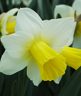 Daffodil, Bravoure, , large