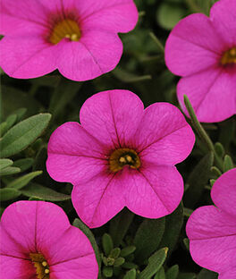 Calibrachoa, Kabloom Deep Pink, , large