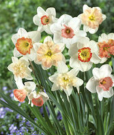 Daffodil, Pink Mix , , large