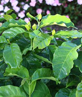Herb, Coffee Plant, , large