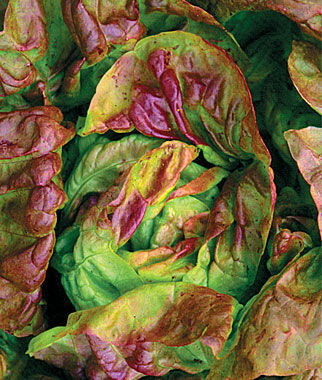 Lettuce, Yugoslavian Red, , large