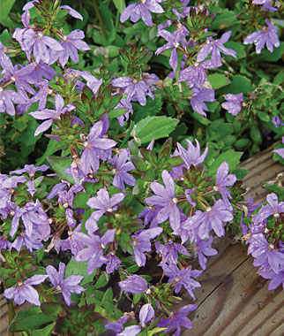 Scaevola, Fancy, , large