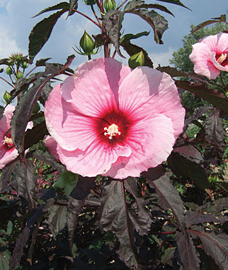 Hibiscus, Summer Storm, , large