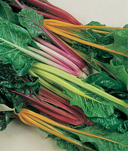 Swiss Chard, Five Color Silverbeet, , large