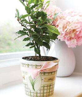 Bay Laurel Potted Gift, , large