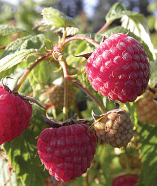 Raspberry, Glencoe, , large