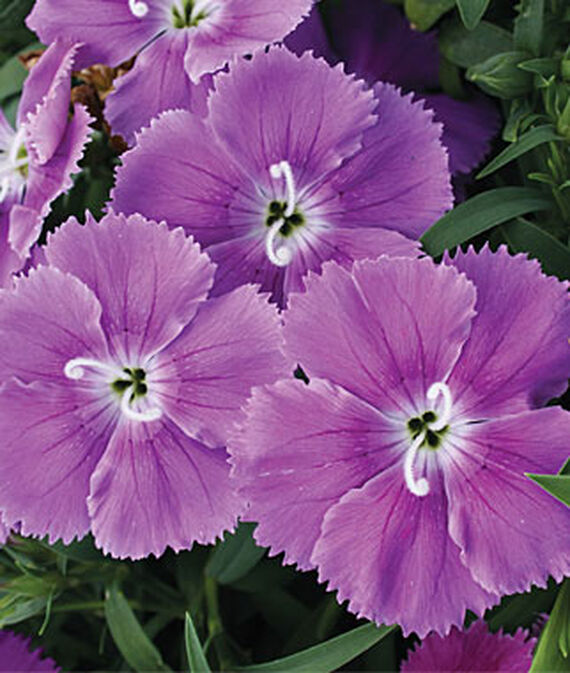 Dianthus, Blueberry