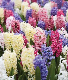 Hyacinth, Mix, , large