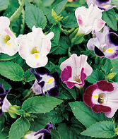 Torenia, Happy Faces Hybrid Mix, , large