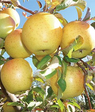 Crimson Crisp Apple Tree - Fruit Trees, Home Gardening at Burpee.com