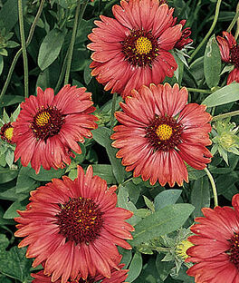 Gaillardia, Burgundy, , large