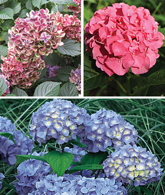 Hydrangea,  Mophead Trio Collection, , large