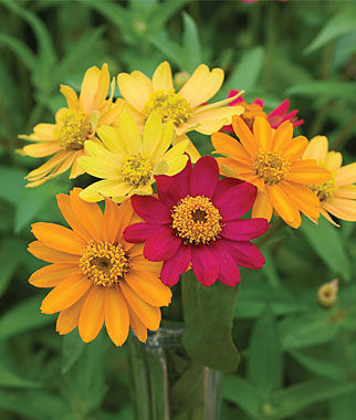 Pinwheel Mix Zinnia Seeds And Plants Annual Flower Garden