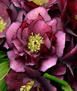 Helleborus, Wedding Party  True Love, , large