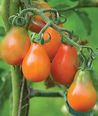 Tomato, Red Pear Organic 1 Pkt. (50 Seeds) Heirloom Tomatoes, Heirloom Tomato Seeds, Heirloom Seeds, Heirloom Tomato Plants, Tomato Seeds
