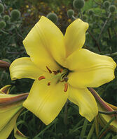 Lily, Golden Splendor, , large