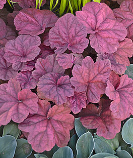 Heuchera, Lava Lamp , , large