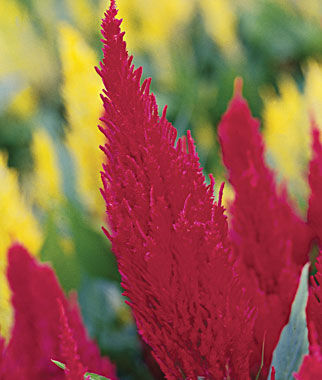 Celosia, Fresh Look Red, , large