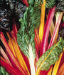 Swiss Chard, Bright Lights, , large