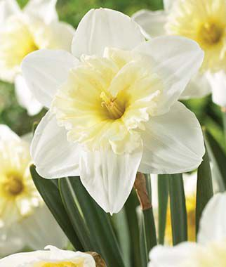 Daffodil, Ice Follies, , large