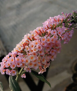 Buddleia, Peach Cobbler PPAF, , large