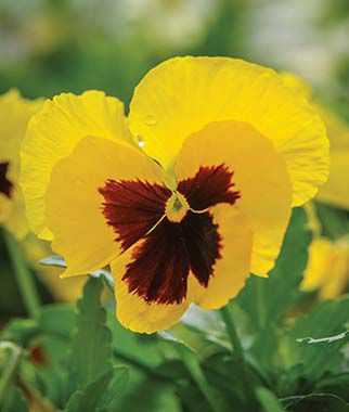 Pansy, Yellow Blotch, , large