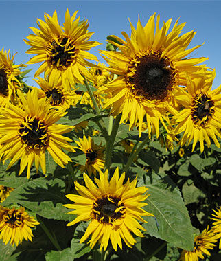 Frilly Hybrid Sunflower Seeds And Plants Annual Flower