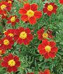 Marigold, Cottage Red, , large