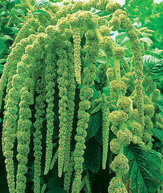 Amaranthus, Love Lies Bleeding (Green), , large