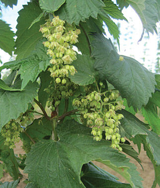 Hops, Cascade, , large