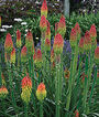 Kniphofia hirsuta, Fire Dance, , large