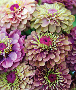 Zinnia, Queen Red Lime, , large