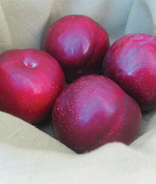 Japanese Plum,  Ruby Queen, , large