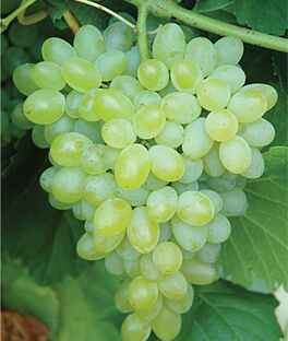 Grape, Hope Seedless, , large